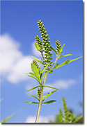 Ragweed: it's time to uproot it